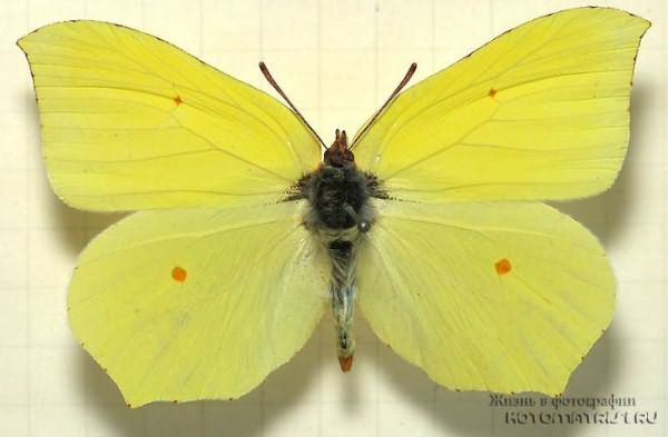 1334166054_butterfly-brimstone (700x458, 49Kb)
