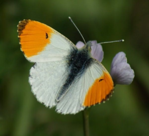 Orange_Tip2_23Apr09rs (600x546, 43Kb)