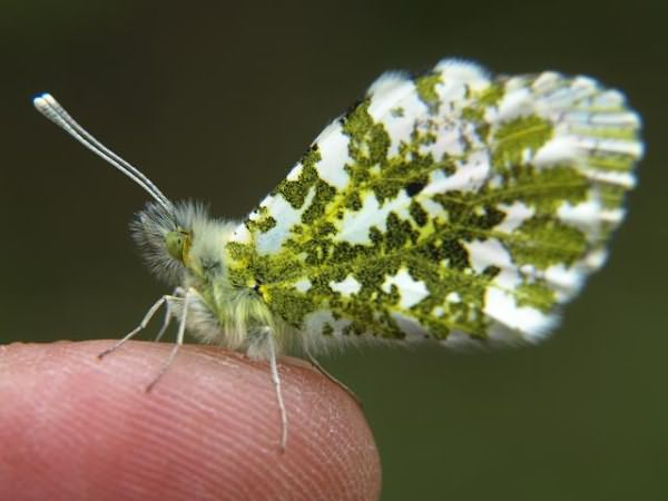 butterfly_orange_tip_anthocharis_cardamines_00_male_07-05-09_2 (640x480, 34Kb)