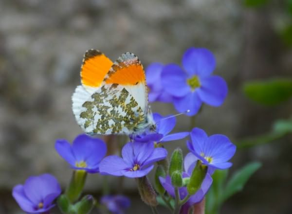 orange-tip (700x513, 200Kb)