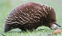 Tachyglossus aculeatus side on (cropped).jpg