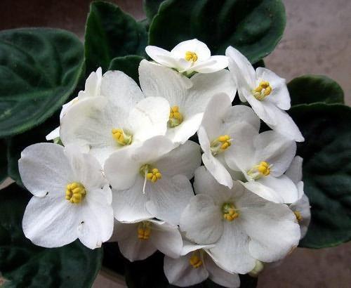 Комнатные цветы колокольчики фиалки 57