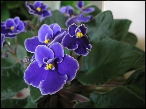 Комнатные цветы колокольчики фиалки 28