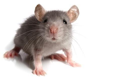 во сне видеть дохлых мышей