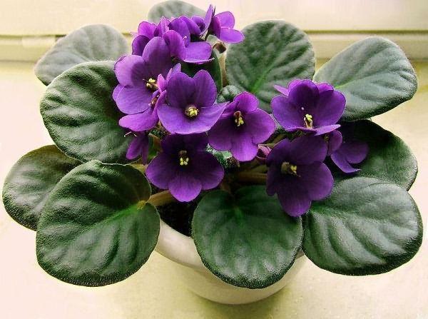 Комнатные цветы колокольчики фиалки 85